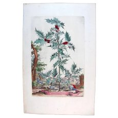 1696 Munting Original Print With Antique Watercolour Large Folio Agrifolium Auratum Christmas Holly U3C