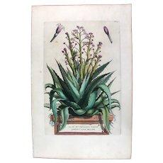 1696 Munting Original Print With Antique Watercolour Large Folio Aloe Mucronato U3J
