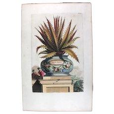 1696 Munting Original Print With Antique Watercolour Large Folio ALOE FEROX U3K