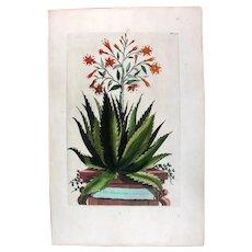 1696 Munting Original Print With Antique Watercolour Large Folio Aloe Serrata U3L