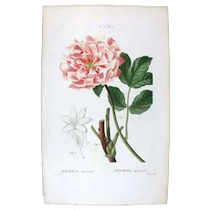 1799 Top Bessa Original Print With Antique Watercolour Folio Paeonia Moutan UA1