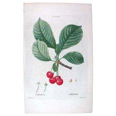 1799 Top Redouté Original Print With Antique Watercolour Folio Cerasus, Cerry fruit UAA