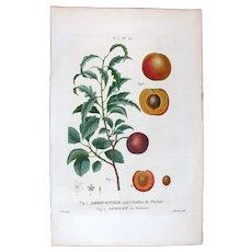 1799 Top Redouté Original Print With Antique Watercolour Folio Apricot UAC