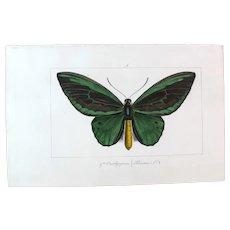 J.L.Emile Pauquet (1797-1871) Original Engraving on Exotic Butterflies - with Antique bright watercolour Priamus Butterfly VS2
