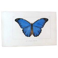 J.L.Emile Pauquet (1797-1871) Original Engraving on Exotic Butterflies - with Antique bright watercolour Menelao Butterfly VS4