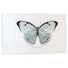 J.L.Emile Pauquet (1797-1871) Original Engraving on Exotic Butterflies - with Antique bright watercolour Priamus Butterfly VS5