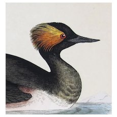 Benjamin Fawcett (1808-1893) - set -5- Original Prints with Superb Antique Watercolouring, Goose, Pochard, Wigeon,