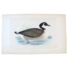 Benjamin Fawcett (1808-1893) - set -3- Original Prints with Superb Antique Watercolouring, Canada Goose, King Duck, etc