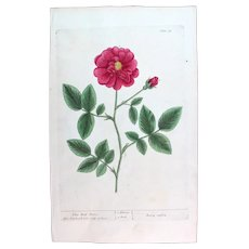 1735 True Elizabeth Blackwell Original Print With Antique Watercolour Large Folio Red Rose XE4