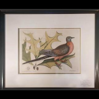 Mark Catesby, Passenger Pigeon - Plate 23