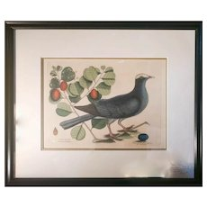 Mark Catesby, White-Crown Pigeon - Plate 25