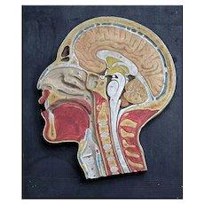 Mid-20th Century plaster anatomical medical diagram