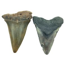 "1.77"" & 1.95"" Megalodon Shark Teeth Set"