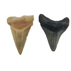 "1.76"" & 1.81"" Megalodon Shark Teeth Set"