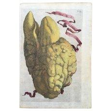 Antique 1646 Ferrari Botanical Lemon Citrus Engraving