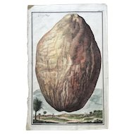 Early 18th Century Johann Volckamer Hand Colored Coconut Copper Engraving