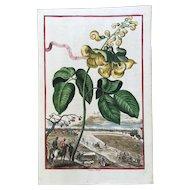 Early 18th Century Johann Volckamer Hand Colored Botanical Engraving