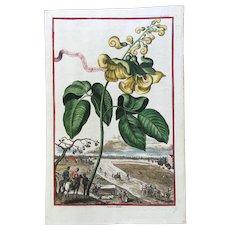 18th Century Johann Volckamer Hand Colored Botanical Engraving