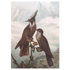 19th Century Brehm HELM HUMMINGBIRD Chromolithograph Print
