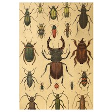 Antique German BEETLE Insect Chromolithograph