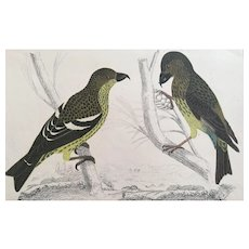 19th Century Oliver Goldsmith CROSSBILL Bird Engraving