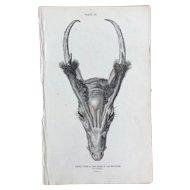 1800's Jardine Engraving - MUNTJAK
