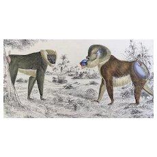 19th Century Oliver Goldsmith Mandrill Drill Baboon Engraving Print