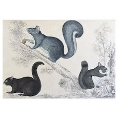 19th Century Oliver Goldsmith Squirrel Engraving Print