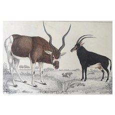 19th Century Oliver Goldsmith Antelope Engraving