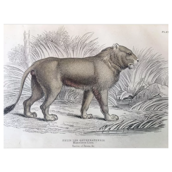 19th Century Jardine Maneless Lion Engraving