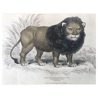 19th Century Jardine Black Maned Lion Engraving