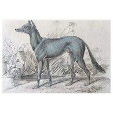 1800's Jardine Lizars Dog Engraving ~Bedouin GREYHOUND of Akkaba
