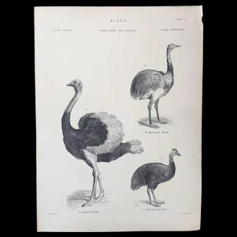 19th Century Museum of Natural History Bird Print ~ Ostrich - Nandu - Cassowary