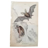 19th Century Jardine Long Eared Bat Engraving Print