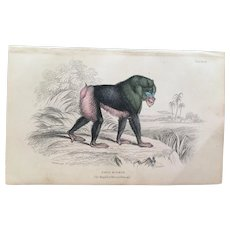 19th Century Jardine Rib Nose Baboon / Mandril Engraving