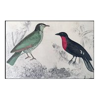 19th Century Araponga Summer Bird and Red Breasted Fruit Crow Print by Oliver Goldsmith