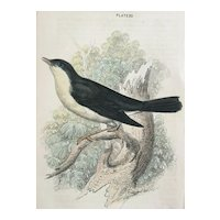 19C Bechstein Hand Colored Engraving NIGHTINGALE Bird Print