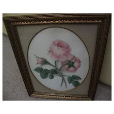Original 19th century fine detailed watercolor drawing of pink roses