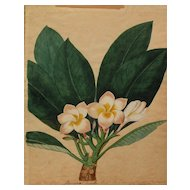 Early 19th century original hand drawn botanical drawing of tropical Plumeria