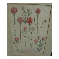 Circa 1740 scarce desirable hand colored botanical print by Johann Wilhelm Weinmann