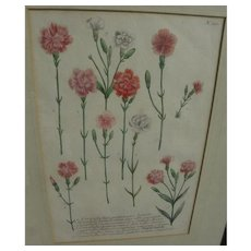 Circa 1740 scarce desirable hand colored botanical print by Johann Wilhelm Weinmann