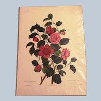 1819  Monograph of the Genus Camellia by Clara Maria Pope