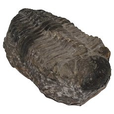 Large Drotops Trilobite Fossil Devonian Morocco
