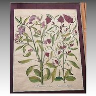 BESLER 1613 hand colored botanical engraving
