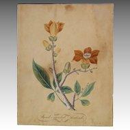 18th c. large botanical WATERCOLOR Sweet Scented Sudrah