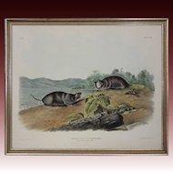 Audubon Imperial Folio Quadrupeds Stone Lithograph Pseudostoma Talpoides, Rich - 1847, Philadelphia