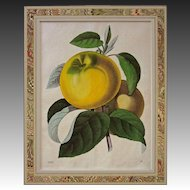 Antique Botanical Yellow Fruit Color Engraving Matted Framed - 19th Century, Germany