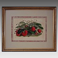 Botanical Lithograph Mammoth Strawberries  Van Houtte / Stroobant - c. 1850, Belgium