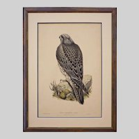 Iceland Falcon Framed Lithograph Birds of Great Britain Large - 19th Century, England