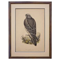 Falco Islandus, J. F. Gmel., Iceland Falcon, Young by WOLF from Birds of Great Britain Color Lithograph - 19th Century, England